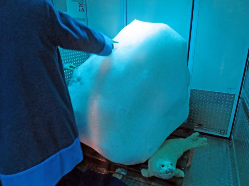 網走の「オホーツク流氷館」から運ばれた流氷。流氷は昨年のものを冷凍保管しているものとのこと